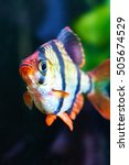Small photo of Aquarium fish - barbus puntius tetrazona in aquarium