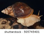 Small photo of Achatinidae, a family of large sized tropical land snails, terrestrial pulmonate gastropod mollusks from Africa