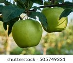 2 Ripe Green Apple On A Branch
