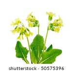 Isolated Wild Primroses
