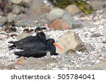 Pair Of Sooty Oystercatchers...