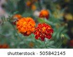 flowers field tagete.... | Shutterstock . vector #505842145