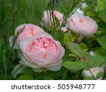 Stock photo blooming rose in the garden on a sunny day david austin rose gentle hermione 505948777