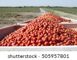 Harvester Collects Tomatoes In...