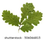 Dried And Pressed Oak Leaves...
