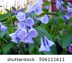 Virginia Bluebells In The Garden