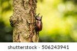 Beetle   Rhinoceros Beetle ...