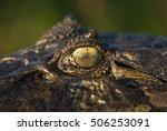 black caiman  melanosuchus... | Shutterstock . vector #506253091