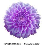 Purple Dahlia  Flower  White ...