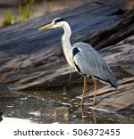 Small photo of An African grey heron searching for food on a rocky embankment in Kenya
