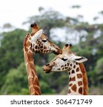Baby Giraffe With Mother ...