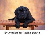 Stock photo cane corso puppy 506510545