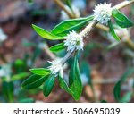 Small photo of alternanthera paronichyoides