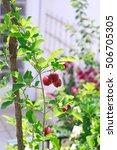Small photo of Fruit - Selective focus on Malpighia glabra (acerola cherry), tropical fruit on branch