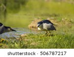 black crowned night heron green ... | Shutterstock . vector #506787217