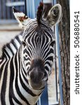 Small photo of Head, face Zebra close-up. Artiodactyla mammals zebra in zoo cage. Wild animals savannah, prairie. selective focus