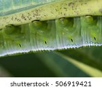 caterpillar walked upside down... | Shutterstock . vector #506919421