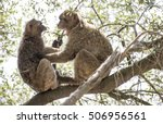 Barbary Macaques Who Fight....