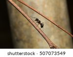 Black Ant Perched On A Branch....