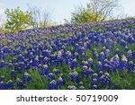 Texas Bluebonnets  Lupinus...