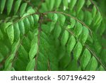 Curry Leaves   Curry Leaf