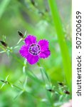 Small photo of Carnation Amur (Dianthus chinensis, Caryophyllaceae) on a green background