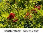 Ilex Mitis   Cape Holly Tree
