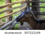 Thai Goats In A Sty