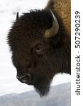 Small photo of American Bison (Bison bison), Lamar Valley, Yellowstone National Park, Wyoming-Montana, USA