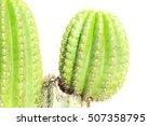 Small photo of Trichocereus Terscheckii (Echinopsis Terscheckii)