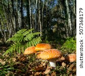 Small photo of Amanita muscaria, red mushrooms in a forest at autumn, Catalonia