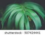 close up of monstera leaves... | Shutterstock . vector #507424441