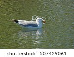 Gull With Its Head Caught In A...