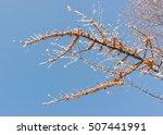 sea buckthorn berries on branch ... | Shutterstock . vector #507441991