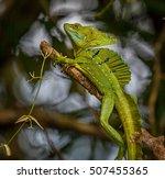 Costa Rican Green Basilisk...