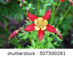 Beautiful Red Columbine Flower...