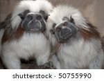 Cotton Top Tamarin In A Zoo...
