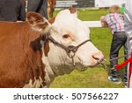 a hereford bull on display at a ...