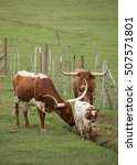 Small photo of Texas longhorn cattle with calves in a green pasture the cow is grooming her calf