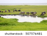 Water Buffaloes With Greenery...