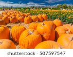 Pumpkin Patch In A Field Of...