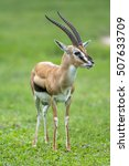 Antelope On Green Grass...
