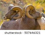 rocky mountain bighorn sheep...