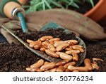 Gardening still life with bean seeds and potting soil in spade.  Work gloves and plant in background.  Macro with shallow dof. - stock photo