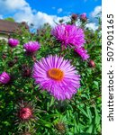 Small photo of autumn flowers alpine aster