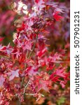 Small photo of Acer palmatum Red
