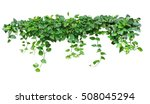 heart shaped leaves vine  devil'... | Shutterstock . vector #508045294
