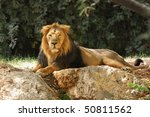 Lion Resting In The Shade Unde...