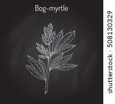 bog myrtle  myrica gale   or... | Shutterstock .eps vector #508130329