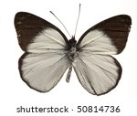 Small photo of Butterfly (Delias Nais Denigrate), male